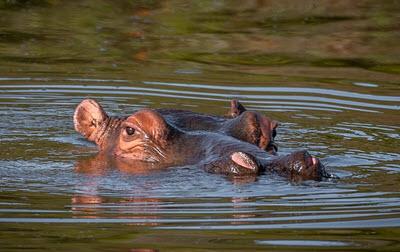 hippo Malaba river