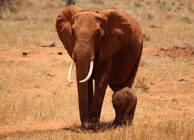 voi elephant